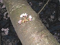 浦安図書館前の桜