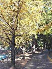 公園のいちょう、輝く秋の代表です